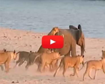 Elefante bebé fue acorralado por 14 leones, el final te sorprenderá - Vídeo