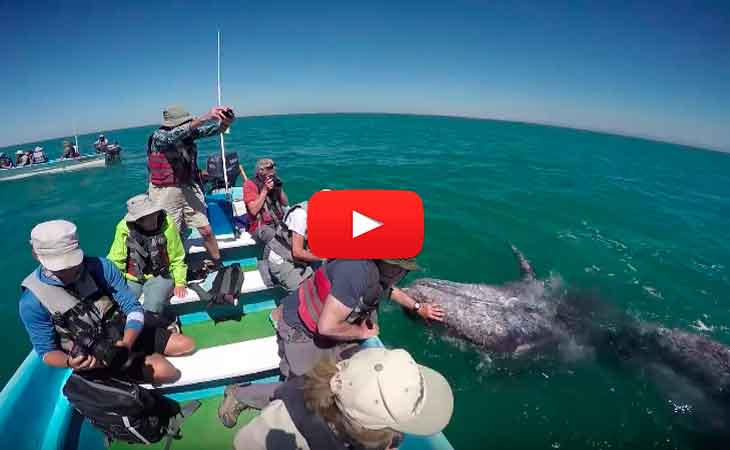 ballenas grises