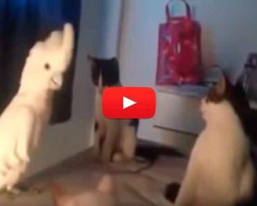 Vídeo: Cacatúa maúlla igual que grupo de gatos para caerles bien